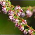 #makro #kwiaty #wrzos #przyroda