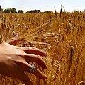 Hmm ... człowiek i natura #Zboże #dłonie #wakacje #natura