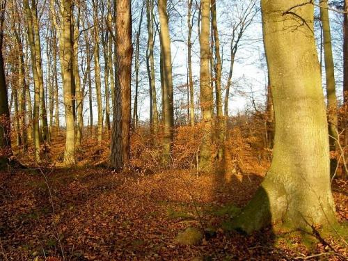 bukowy las nad jez.Otomino #jezioro #las #jesień #widoki #przyroda