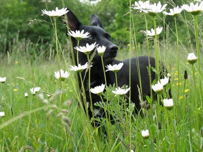 pies w kwiatach