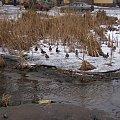 #kaczki #zima #szuwary