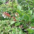borówka amerykanska #rośliny #krzewy #WOgrodzie #ogród #jagody